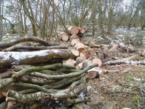 Ash Tree Down 2