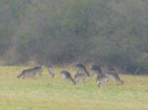Deer 110313