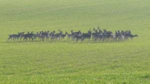 Deer Grazing Wheat