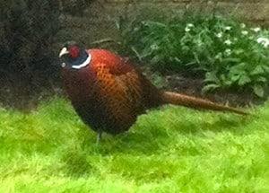 Mr Cock Pheasant