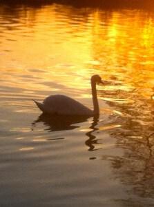 The Serene Swan