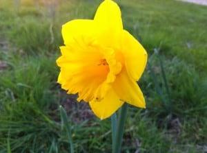 Baldock Daffodil