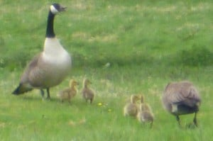 Canada Geese 2013