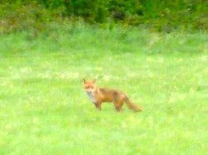 Poxy Foxy!