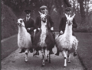Three Men Riding Goats