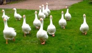 Thirteen geese