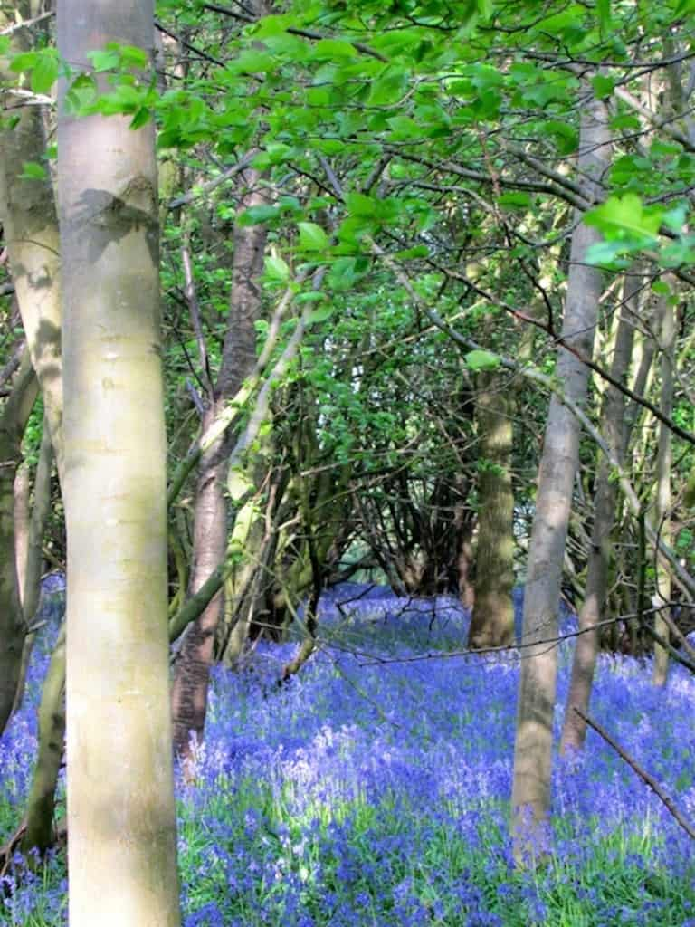 Bluebells at Clothall
