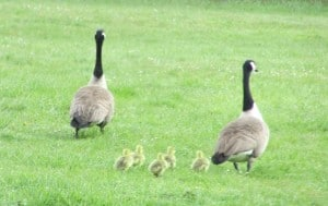 Geese+