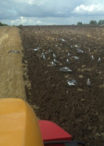Seagull plough 1