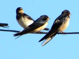 Last Swallows
