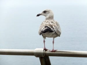 Sidney the Seagull