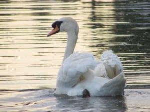 swan 18215