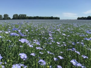 Linseed1