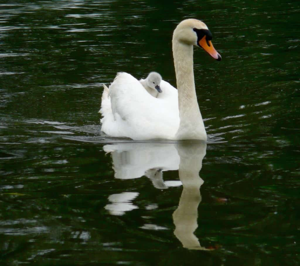 Swan + Cygnet