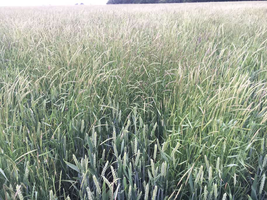 Blackgrass threatens wheat